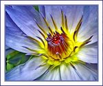 Title: Waterlily For SaleSony Cyber-shot DSC-P8
