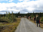 Title: Walking home the cows II