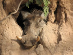 Title: WarthogCanon PowerShot S2 IS