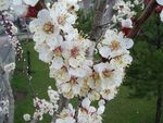 Title: Apricot Flowers
