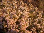 Title: THYME  FLOWERS