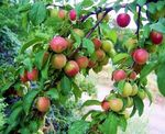 Title: THE  PLUMS