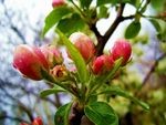 Title: The buds of apple flowers
