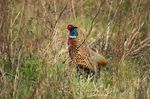Title: Pheasant in concealment
