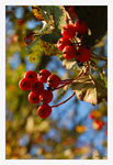 Title: Red BerriesNikon D-50