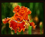 Title: Iris on FireNikon D200.