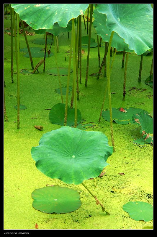 duckweed and lotus leaf