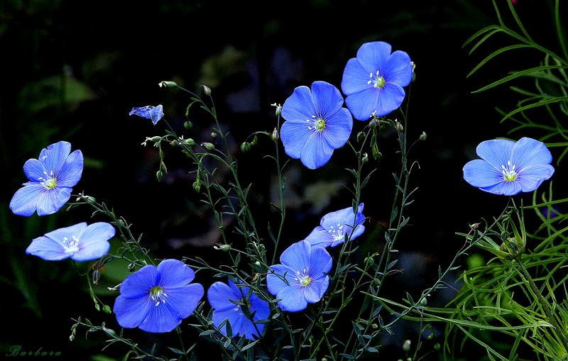 *   Blooming Flax  *