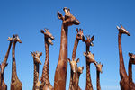 Title: Herd of wooden Giraffes