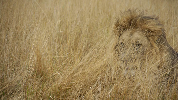 Lion in the long grass