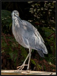 Title: White faced Heron