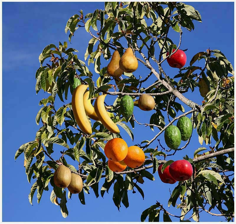 New Zealand Fruit Salad Tree