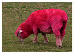 Title: Sunburnt sheepCanon 5D