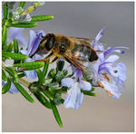 Title: Hover Fly on our Rosemary BushCanon 5D