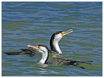 Title: NZ Pied Shags