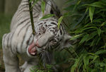 Title: Almos White Tiger cubSony Alpha 100 Digital SLR