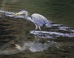 Title: Blue Heron WadingSony Alpha 100 Digital SLR