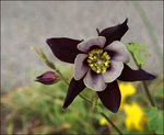 Title: Columbine Flower
