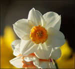 Title: Jonquil basking in the sunSony Alpha 100 Digital SLR