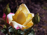 "Title: Thanks Treklens members "" Rose""Sony Alpha 100 Digital SLR"