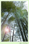Title: Rising sun among the bamboo trees....