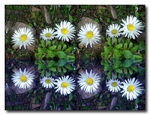 Title: Daisies &  Reflections