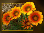 Title: Treasure Flower- Gazania