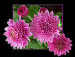 Title: Chrysanthemums- For Slavica