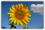 Title: Sunflower & Sky for MARINER