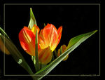 Title: Golden Tulips- for Boomcat