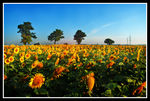 Title: Sunflowers for  everyone!!Nikon D200 with MBD200