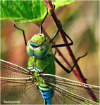 Title: �Anax imperator close��