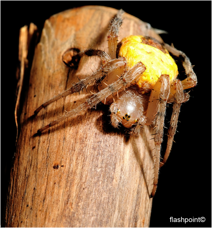 �portrait of araneus��