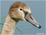 Title: �portrait of juvenile swan��