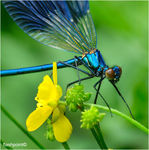Title: �portrait of Banded Demoiselle��