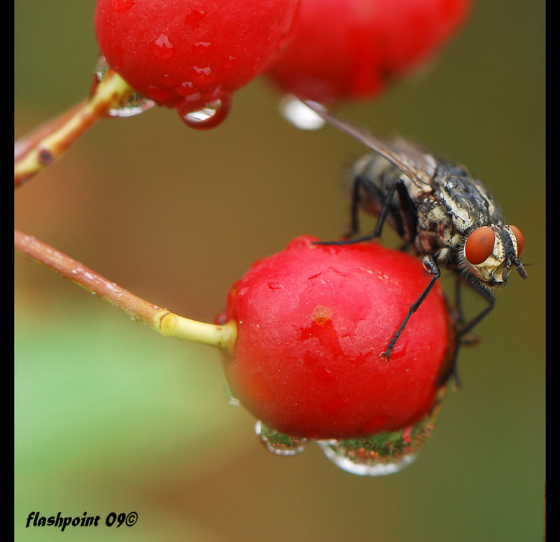 °red berries and red eyes°°
