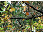 Title: �robin in the first day of  new year��Nikon D40X