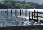 Title: 14 little seagulls sitting by the lakePentax K3