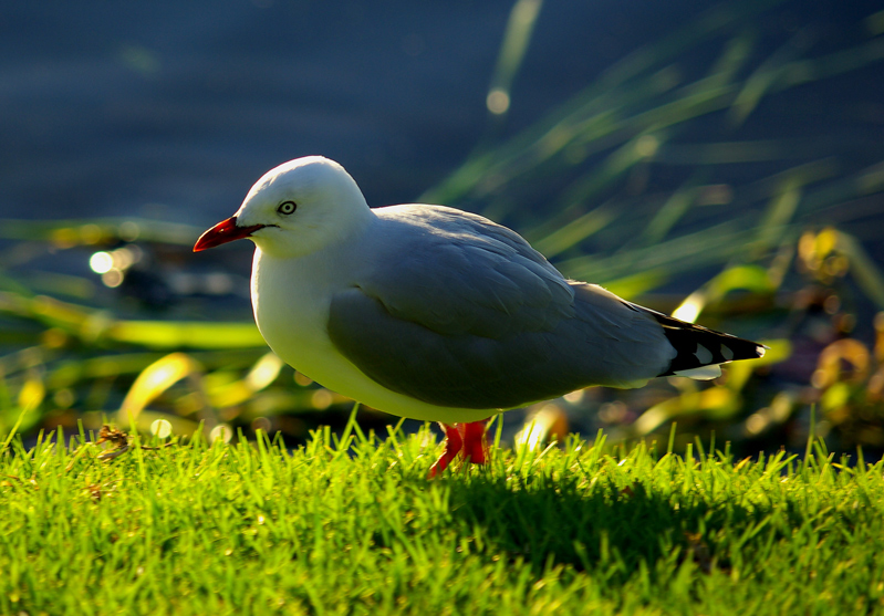 Red billed seagull