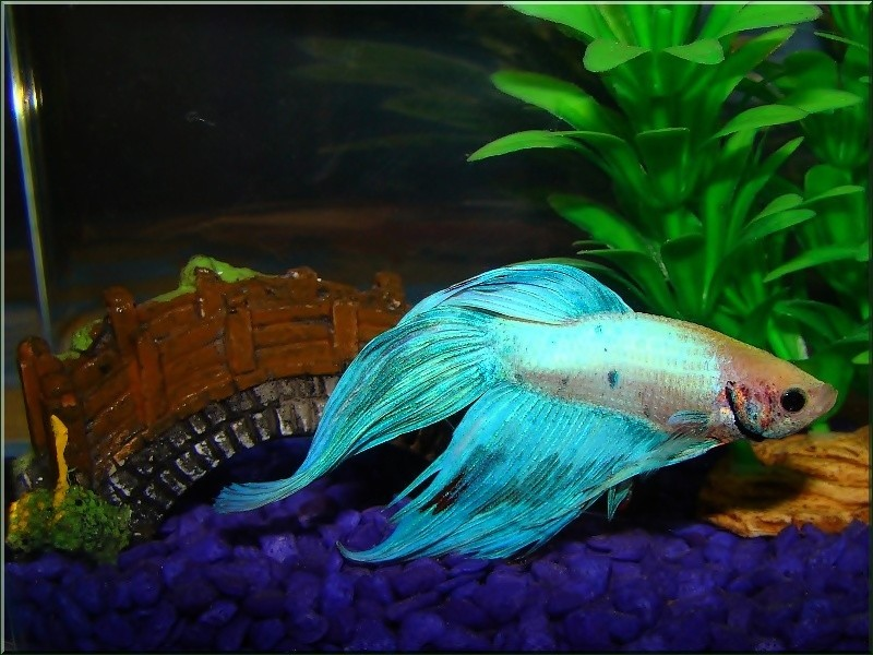 Treklens siamese fighting fish photo for Japanese fighter fish