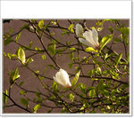 Title: Nice Blooming ? Magnolia?