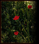 Title: Poppies1