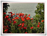 Title: Poppies and the sea