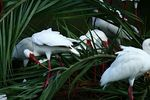 Title: Ibis in the palms