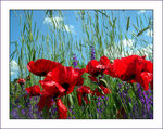 Title: Goodbye Poppies