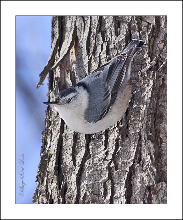 The wink of the Nuthatch