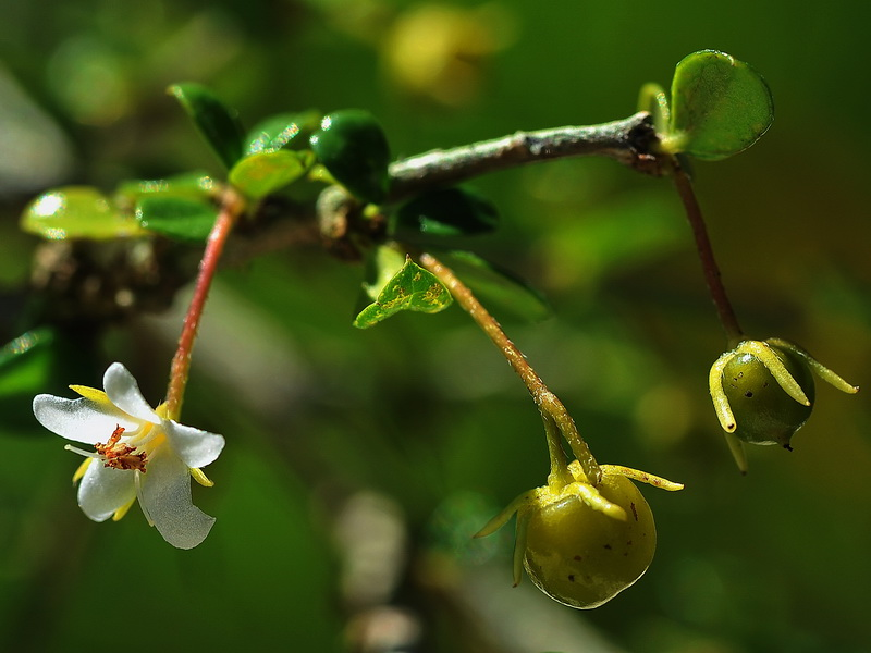 Little fruits and flower