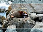 Title: Resting Seal