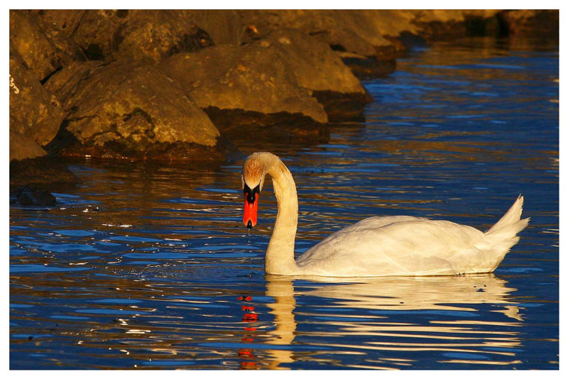 Swan under the sunset