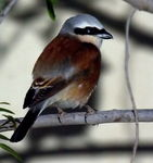 Title: Red Backed Shrike